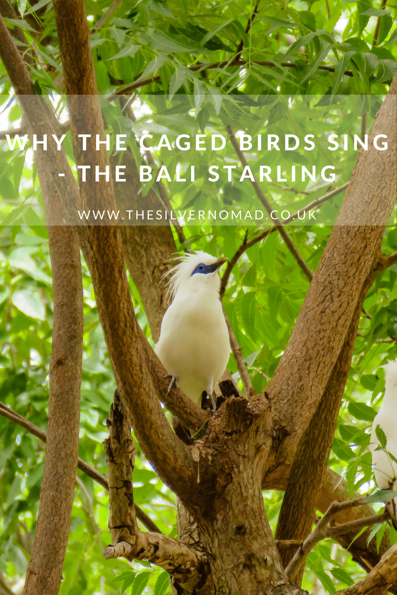 Why the cage birds sing - the Bali Starling | The Silver Nomad