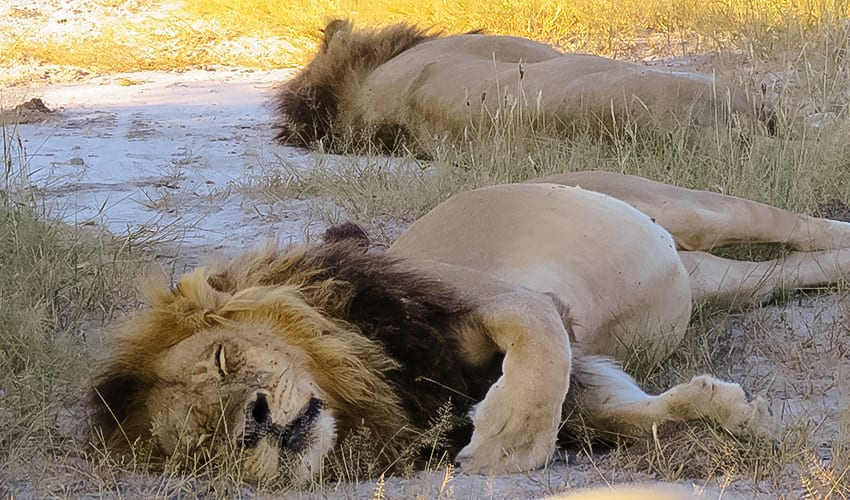 2 lions sleeping on Rra Dinare safari