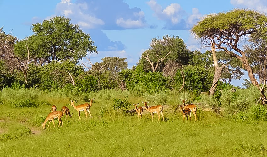 Impalas on Rra Dinare Safari