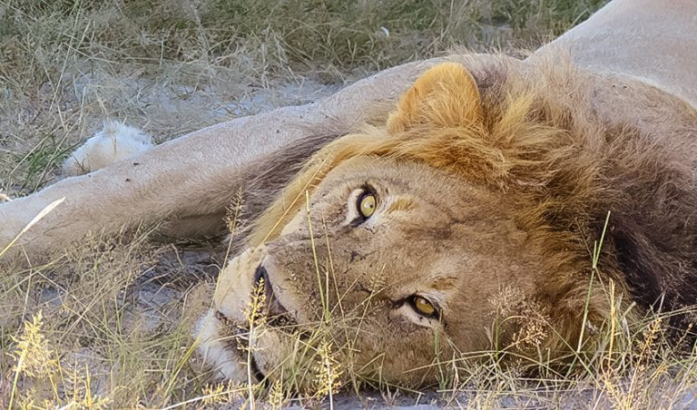 Lion looking at the camera at Rra Dinare safari