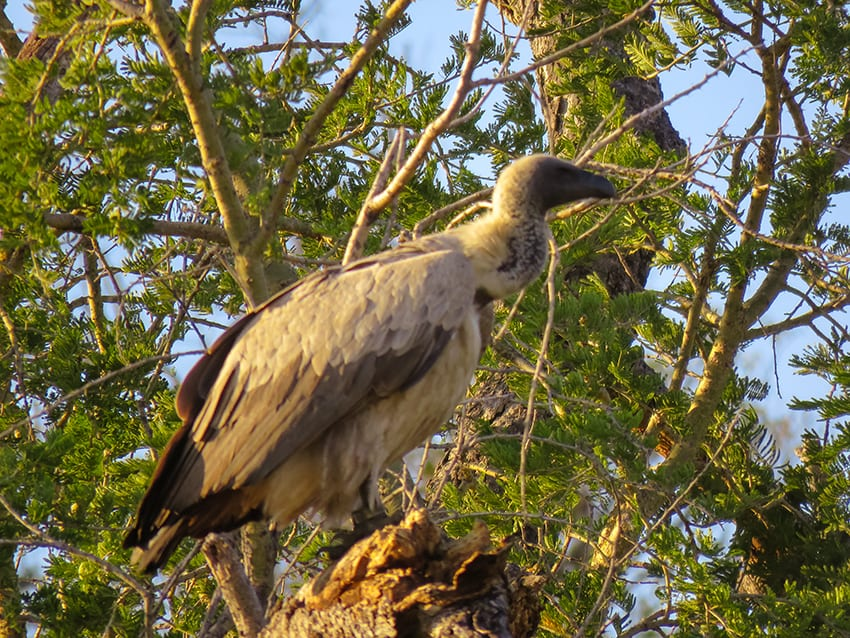 Vulture on Safari in Rra Dinare