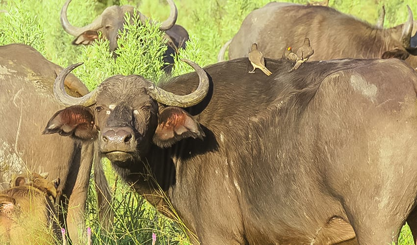 Buffalo one on the Big Five