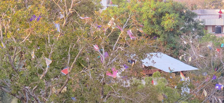 kites stuck in the trees during the kite festival jaipur