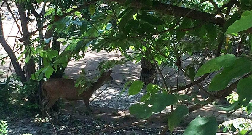 Javan rusa deer hiding in the trees in Bali Barat National Park, Bali