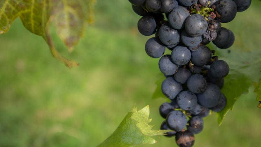 A close-up of a bunch of black grapes ready for picking