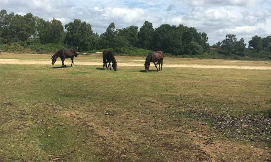 three horses grazing on grass with a line of trees n the background