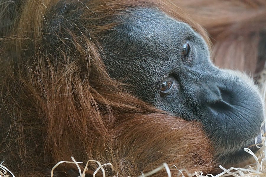 close up of orangutang looking to the right