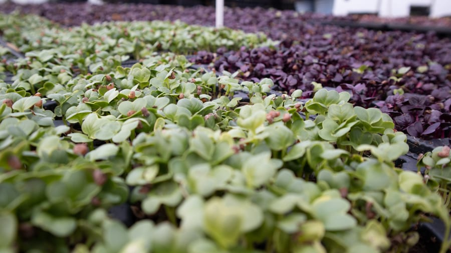 green and purple Microgreens from Staarvey Farm